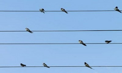 Line of birds on a line